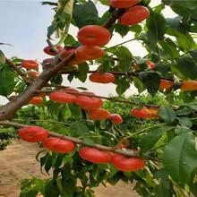 金秋紅蜜桃樹苗多錢一棵、金秋紅蜜桃樹苗基地圖片