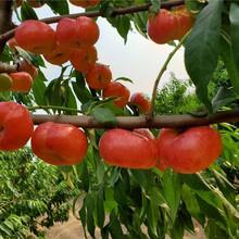 油蟠桃樹苗近期批發價格圖片