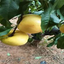 6-05油桃苗主產區報價圖片