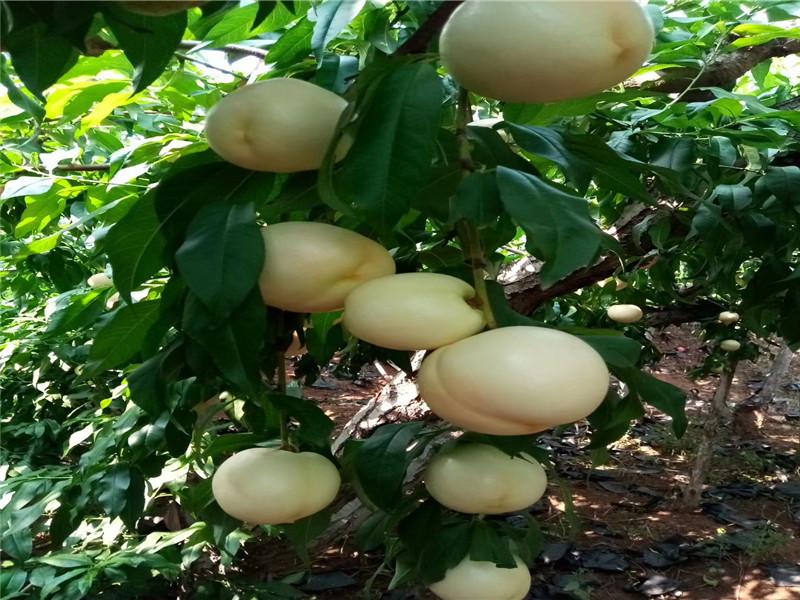 貴州安順黃桃樹苗主產區售價