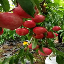 1年黃桃樹苗品種介紹圖片