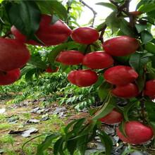 賣的價格早熟新品種桃苗、早熟新品種桃苗出售價錢圖片
