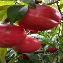 早熟蟠桃樹苗栽種技術圖片