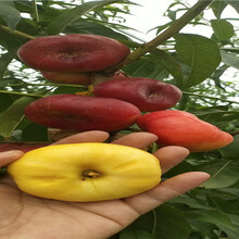 重慶南岸冬雪桃樹樹苗主產區售價圖片