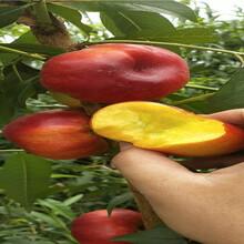 批發價格8月成熟桃苗、8月成熟桃苗主產區售價圖片