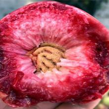 送貨報價金秋紅蜜桃樹苗、金秋紅蜜桃樹苗主產區售價圖片
