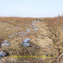 新疆克拉瑪依早熟新品種桃苗品種介紹圖片