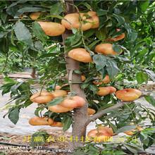 山東濟南蟠桃樹苗這里賣的價格圖片