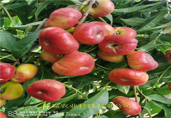 云南紅河蟠桃樹苗這里賣的價格