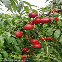 今年才賣晚熟冬桃樹苗、晚熟冬桃樹苗基地批發報價圖片