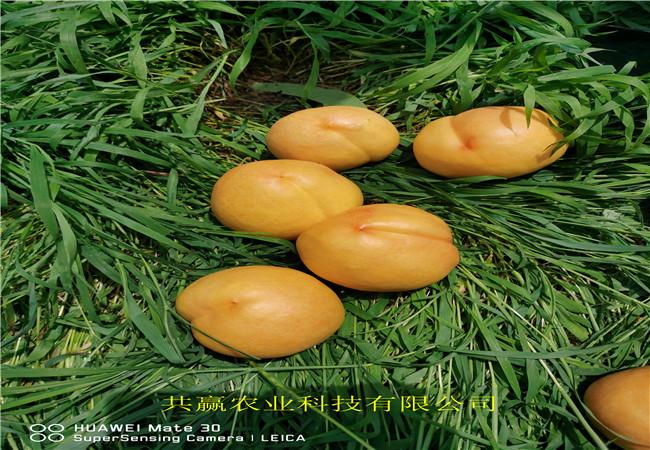 山西運城晚熟桃樹苗今年才賣