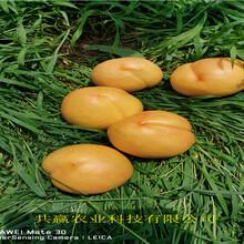 湖北襄陽早熟蟠桃樹苗賣的價格圖片