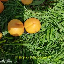 湖北鄂晚熟桃樹苗育苗基地報價圖片