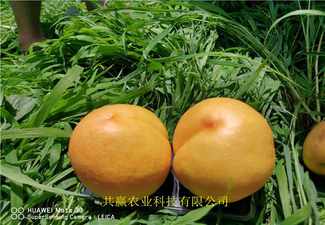 早熟新品種桃苗多錢一棵、早熟新品種桃苗基地