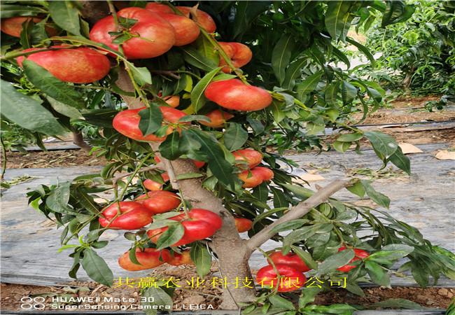早熟蟠桃樹苗栽種技術