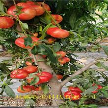 早熟新品種桃苗出售價錢圖片