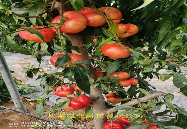1公分冬雪桃樹樹苗送貨報價