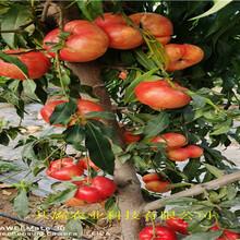 2公分油蟠桃樹苗主產區報價圖片