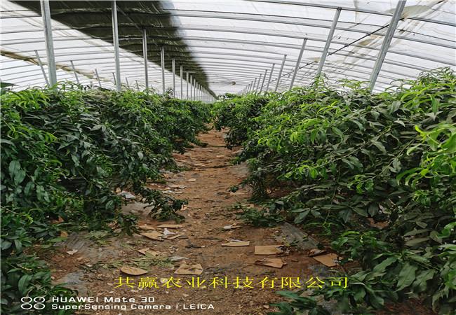 品種介紹雪桃樹苗、雪桃樹苗育苗基地報價