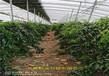 云南玉溪冬雪桃樹樹苗近期價格