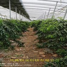 河南濟源早熟油桃苗樹苗地方有圖片