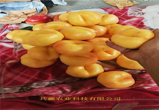 重慶江津蟠桃樹苗這里賣的好