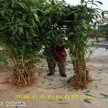 河北邯鄲36-5蟠桃樹苗主產區報價圖片