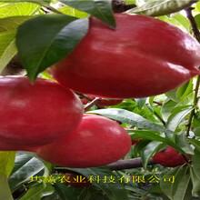 湖南永9月成熟桃苗這里賣的價格圖片
