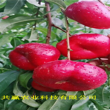 重慶江北油蟠桃樹苗這里賣的價格圖片