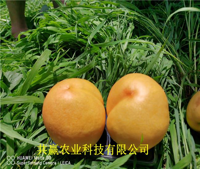 湖北黃岡8月成熟桃苗出售價錢