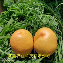 云南普洱蟠桃樹苗批發價格圖片
