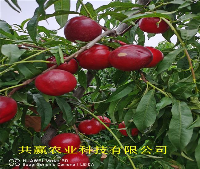 重慶忠新品種桃樹苗多錢一棵