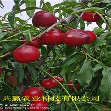 陜西寶雞蟠桃樹苗賣的價格圖片