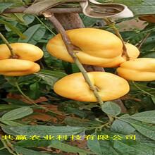 新疆五家渠晚熟蟠桃樹苗出售價錢圖片