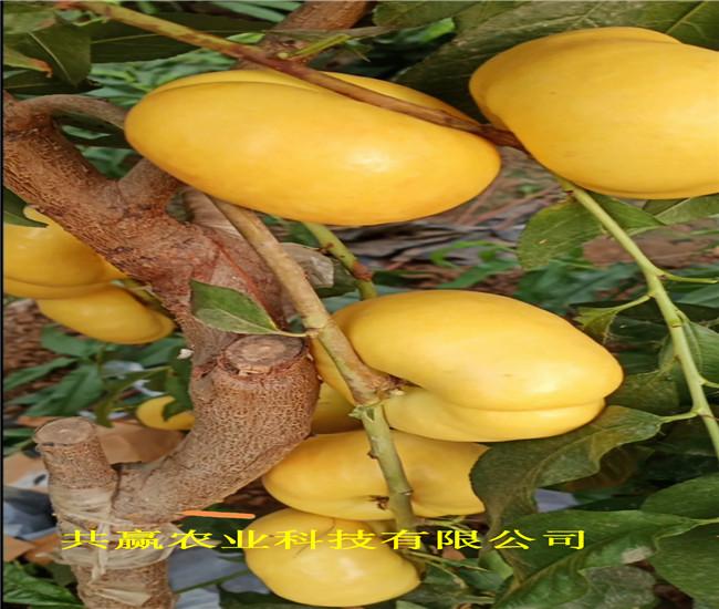 河南駐馬店6-05油桃苗出售價錢