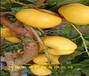 3年晚熟桃樹苗賣的價格