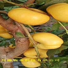 江蘇泰黃金密桃樹苗近期價格