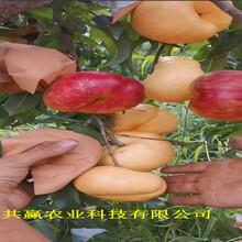 四川自貢早熟油桃苗栽種技術圖片