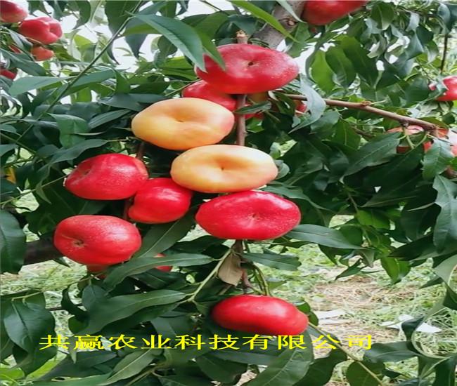 浙江麗水早熟蟠桃樹苗近期價格