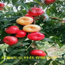 重慶巫溪黃金密桃樹苗育苗基地報價圖片