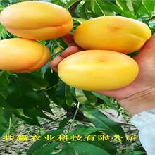 陜西咸陽早熟蟠桃樹苗育苗基地報價圖片
