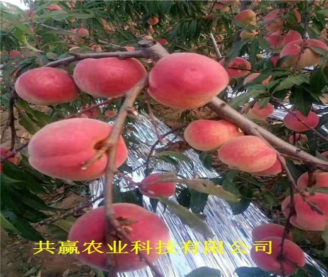 重慶楊家早熟油桃苗采購批發價