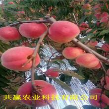 四川內江雪桃樹苗主產區報價圖片