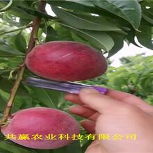 貴州六盤水晚熟冬桃樹苗主產區售價圖片