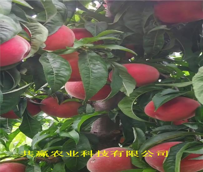 貴州銅仁晚熟冬桃樹苗多錢一棵