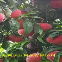 河北唐山晚熟蟠桃樹苗采購批發價圖片