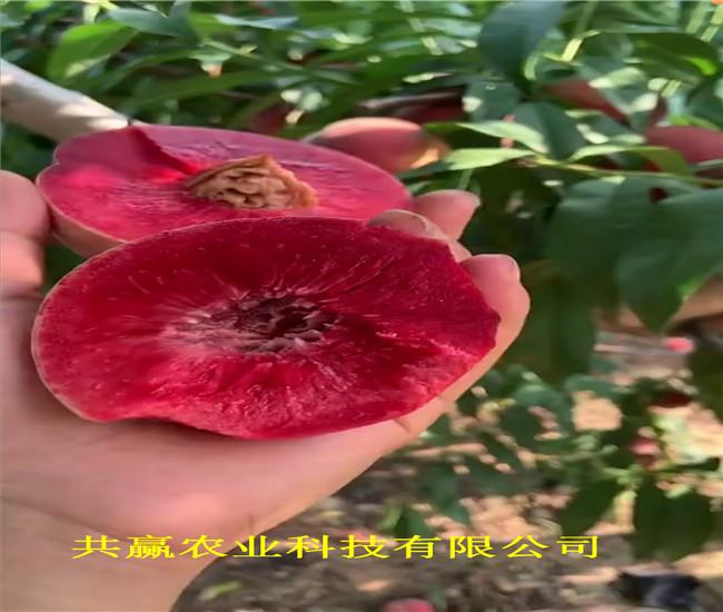 陜西延安早熟蟠桃樹苗送貨報價