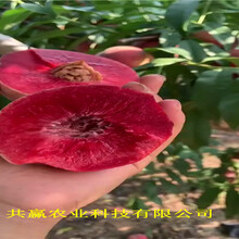 安徽和黃金密桃樹苗聯系電話圖片