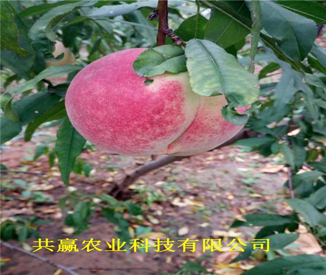 重慶云陽油蟠桃樹苗今年才賣