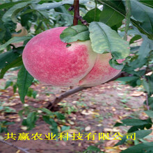 重慶永川晚熟桃樹苗基地批發報價圖片